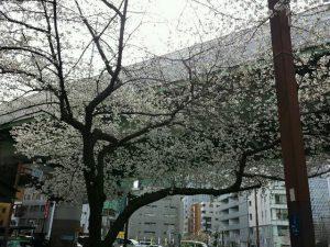 2014_sakura.jpg
